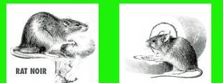 Lutte collective contre les rats et les souris